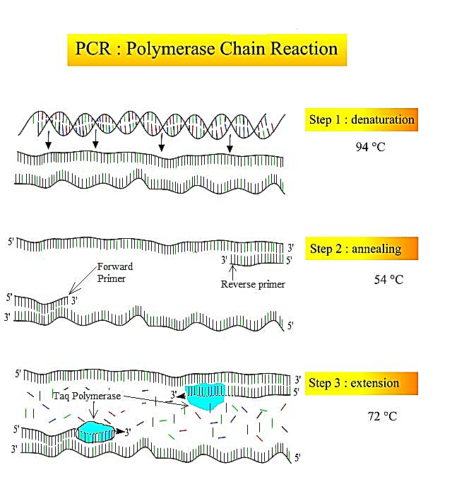 چرخه دمایی و تکثیر ژن هدف در آزمایش PCR