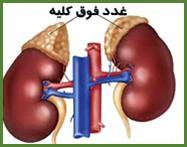 هورمون های غده فوق کلیوی یا آدرنال (Adrenal)